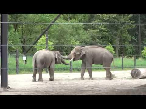 Asian elephant bull Samson meets Chendra