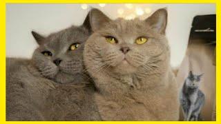 British Shorthair, Kittens British Shorthair, Blue British Shorthair