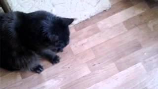 Кошечки мейн кун играют