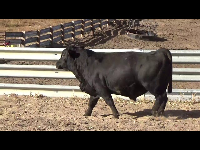 Connealy Angus Lot 218