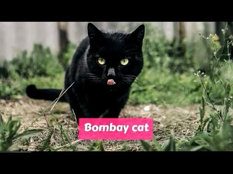 Bombay (Cat) Felis catus