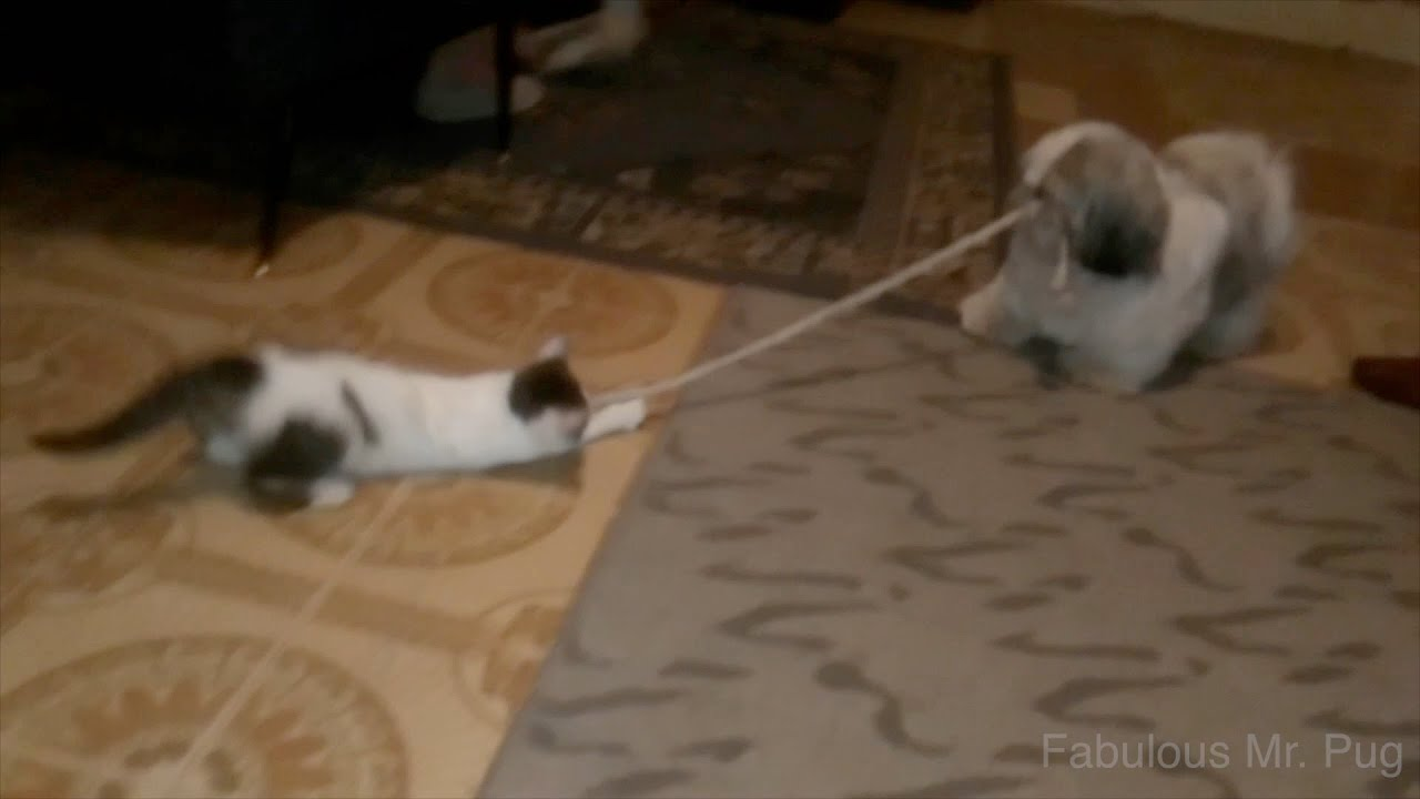 cat and dog play tug of war youtube. Black Bedroom Furniture Sets. Home Design Ideas
