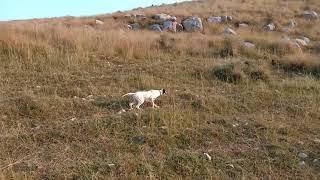 Amazing Pointer dog training video