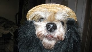 Cairn Terriers To Adopt This Halloween From Col. Potter Rescue Network.mp4
