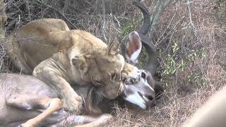 Lions chase and kill male kudu.. Graphic video, very intense Part1