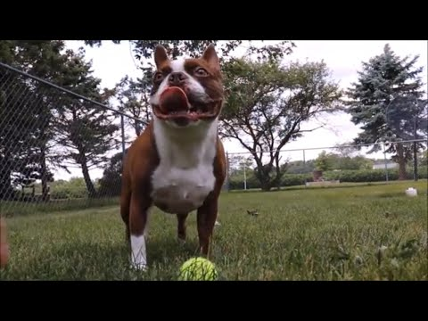 FUNNY GOLDEN RETRIEVER DOG PLAYS BALL WITH FUNNY BOSTON TERRIER DOG VIDEO!.