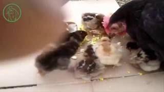 Чем кормить суточных цыплят несушек(Чем и как кормить суточных цыплят несушек в первые дни, вы узнаете из данного видео. ➀ Подписывайтесь на..., 2016-07-06T07:24:48.000Z)