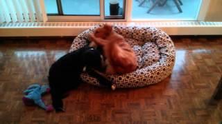 Alfie The Golden Retriever Performs Ritual Mating Dance....