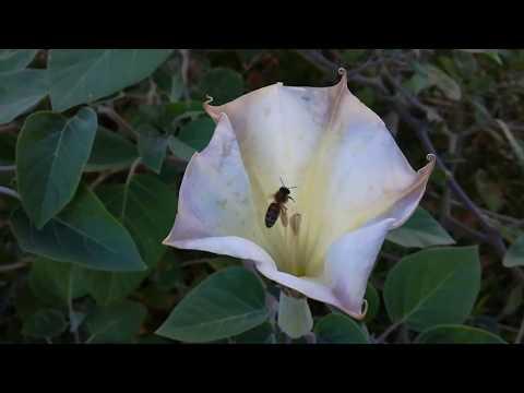 Ядовитый тис, розы и дурман