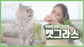 심콩스토리뷰 : 고양이 캣그라스 키우기? 퓨어그라스 보…