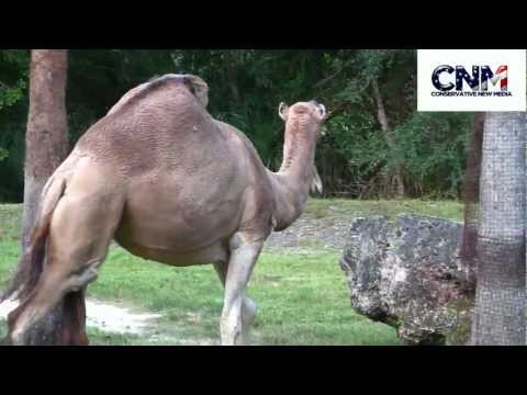 One-Hump Camels vs. Two-Hump Camels - (Dromedary vs. Bactrian) - A Comparison by John D. Villarreal