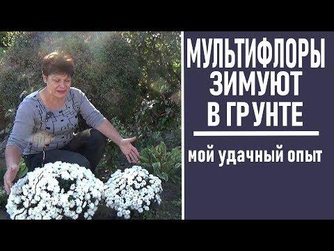 Как сохранить шаровидные хризантемы зимой без выкапывания в открытом грунте
