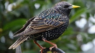 Starlings on Prozac