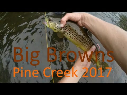 Big browns on pine creek