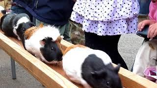 かわいすぎるモルモットの行進 IN 熊本市動植物園 thumbnail