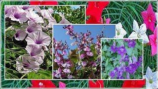 4 самых неприхотливых однолетних цветущих лианы для  сада и дачи