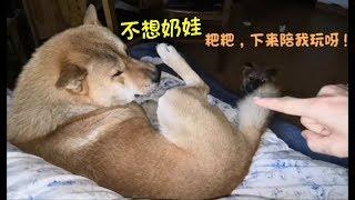 中华田园犬阿黄偷摸到主人床上睡觉,被发现后,阿黄直接变癞皮狗!发布中...