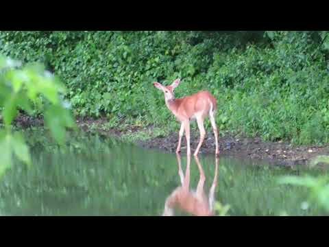 Wild Deer In Avon, Connecticut
