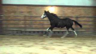 Just Dandy dual registered JC & APHA 2014 Black colt by Thesecolorsdorun out of Poke Poke for Sale