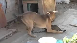 Коту нравится, когда его кусает собака