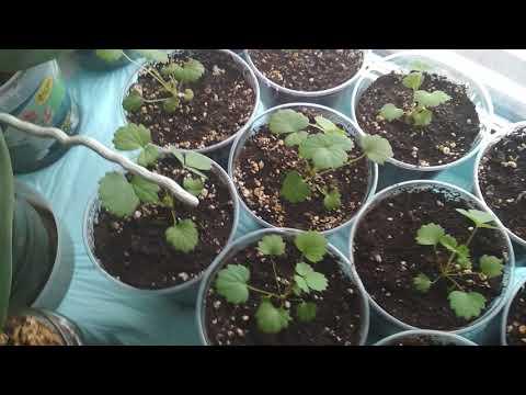 Вопрос: Можно ли вырастить клубнику из семечки на подоконнике?
