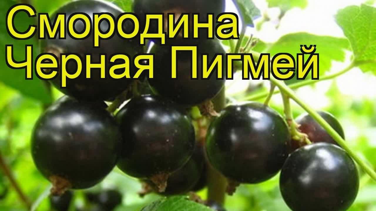 Смородина черная Селеченская 2. Краткий обзор, описание .