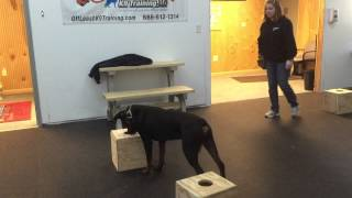 Rottweiler Scent Detection Session With Off Leash K9 Training, Columbia