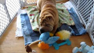 Rufus The Sharpei Puppy Working On His Christmas Gift