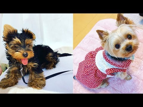 Cutest Yorkie Puppies Video Compilation