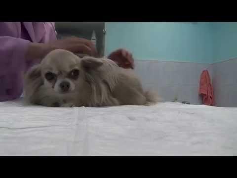 Вопрос: Как сделать массаж собаке?