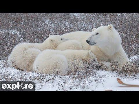Polar bear live camera!