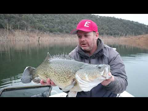 Lake Eildon Tagged Murray Cod - Catch And Release Fishing