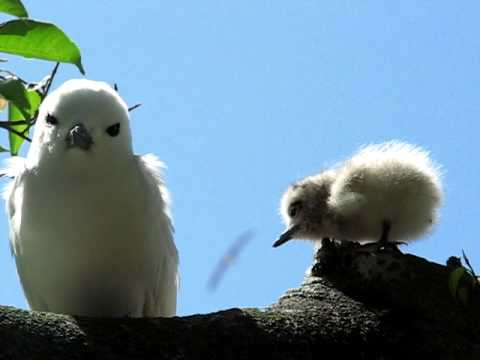 White tern and chick