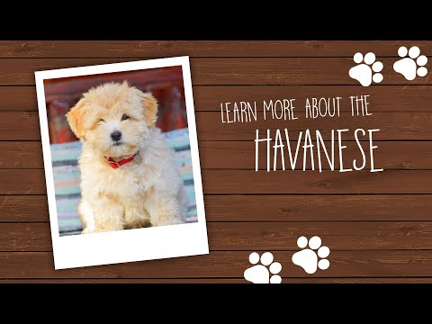 do-you-want-to-know-more-about-the-havanese?