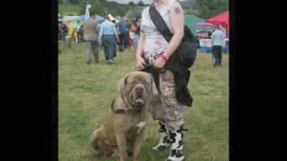 Neopolitan Mastiff X Old English Mastiff Oliver