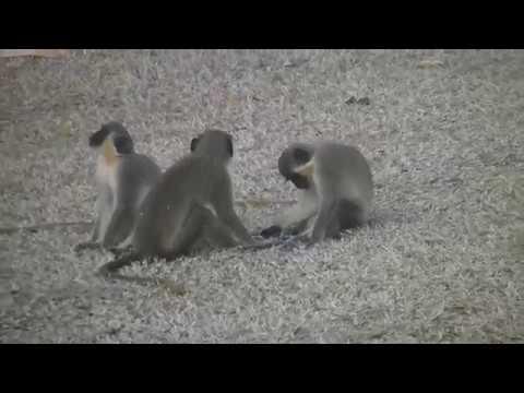 Green Monkeys at Rockley Golf Course, Barbados March 2016