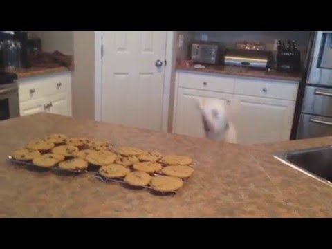 Dog Jumps to Smell Cookies