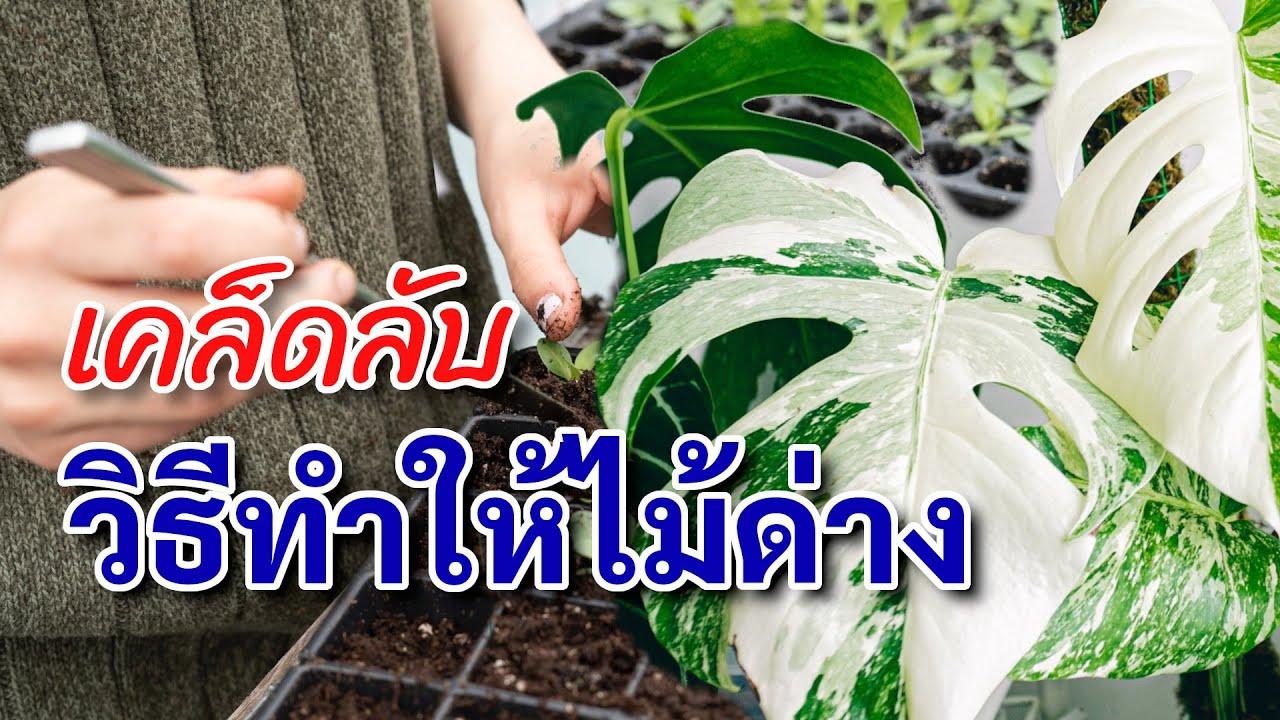 เปิด!! วิธีทำให้ต้นไม้ด่าง ทำไมต้นไม้ถึงใบด่าง พร้อมวิธีสังเกตต้นไม้ด่าง🌿🌳