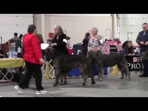 11-10-2019 Ozarks Kennel Club- Irish Wolfhounds