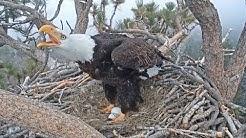 Big Bear Eagle Cam ~ Intruder Alert! ~ Mom & Shadow Fly Off To Defend The Nest w/ SLO MO 4.5.19