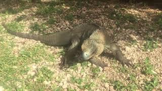 Casanova, the blue iguana