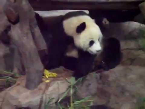 Panda pissing and shitting on Panda