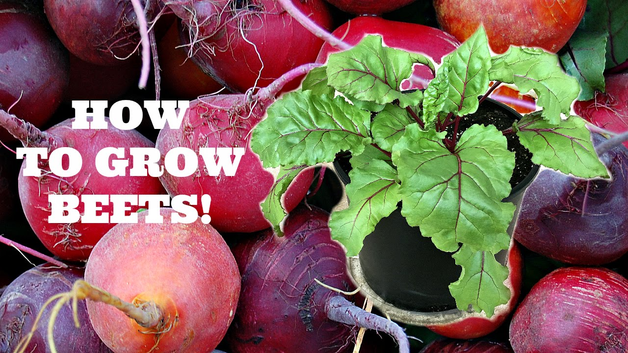 How To Grow Beets From Seed Youtube