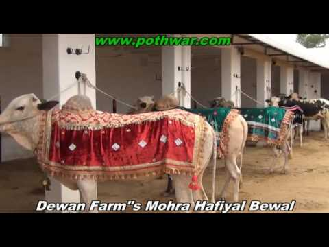 Dewan Farms Mohra Hafiyal Bewal