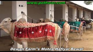 Dewan Farms Mohra Hafiyal Bewal