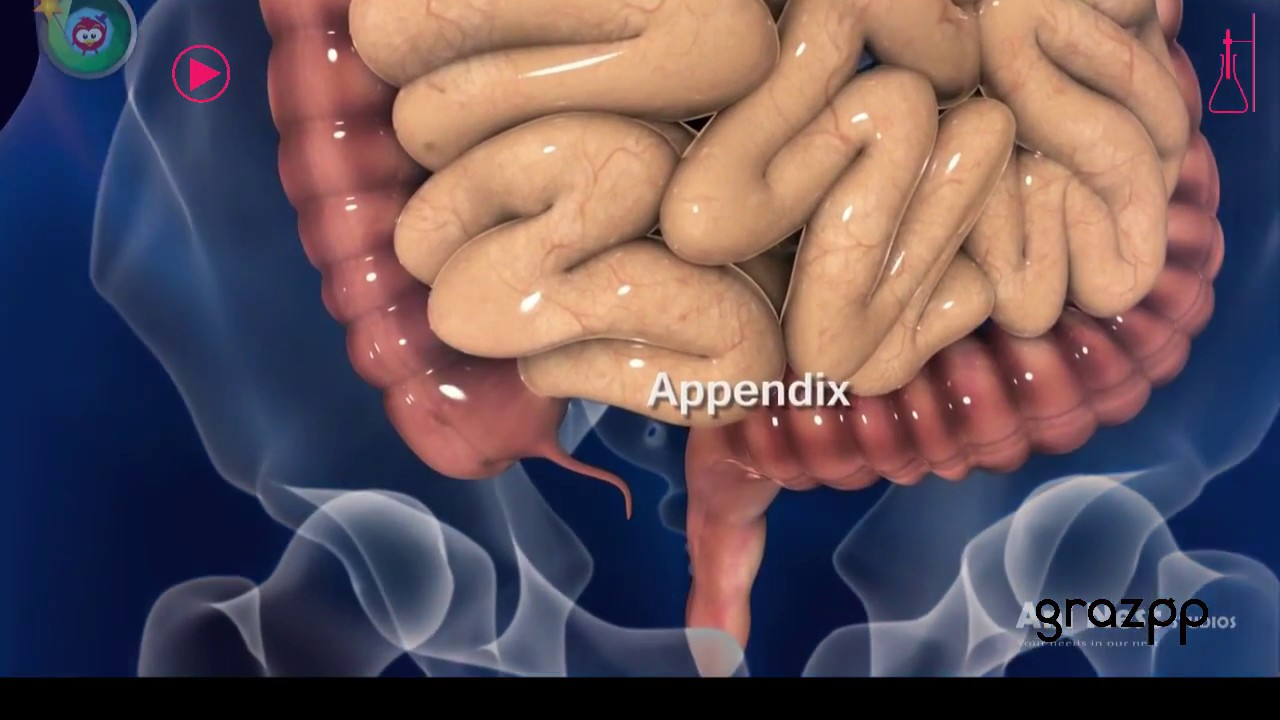 Scientists Finally Discover The Function Of The Human Appendix Youtube