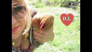 Hühnermilben im Hühnerstall, was tun ?Hühnermilben erkennen und bekämpfen