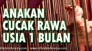 Penangkaran Cucak Rawa - Video Anakan Cucak Rowo