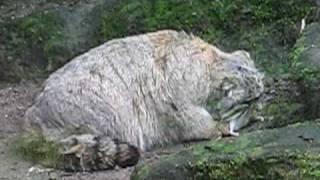 Manul Cat eating