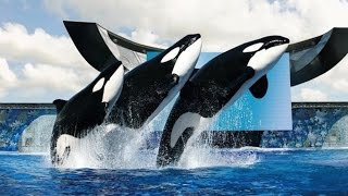 SeaWorld To Stop Killer Whale Shows